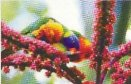 Beautiful Rosellas