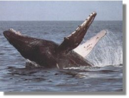 Humpback Whale of Hervey Bay